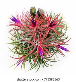 Tillandsia ionantha. The flowers of tillandsia ionantha. Tillandsia decorate in garden, selective focus.