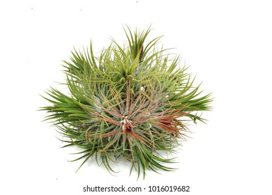 tillandsia ionantha on white background