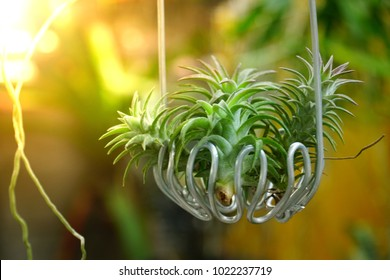 Tillandsia ionantha var vanhyningii is a species in the genus Tillandsia. Tillandsia for decoration garden on white background, selective focus and free space for text.
