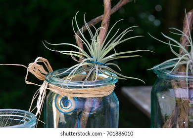 Tillandsia oaxacana decorative placed on wood.