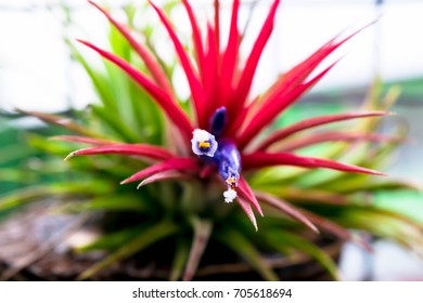 Tillandsia, planta aeriana care fascineaza prin forma is culoare, Tillandsia ehlersiana, blushes a beautiful red color when blooming with purple tubular flowers and is very hardy and easy to grow.