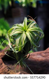 Tillandsia Streptophylla x Brachycaulos, plants in the family Bromeliaceae, Air plants on timber