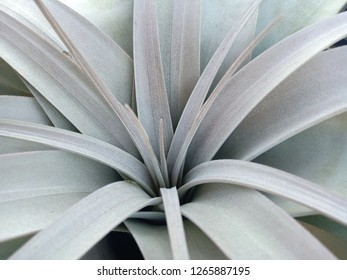 Tillandsia xerographica airplant has silvery green and trichomes covered thickly.