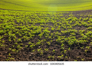 Tilled soil with fresh green sprouting plants and backlight.