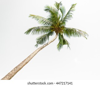 Tilted coconut palm tree isolated on white background