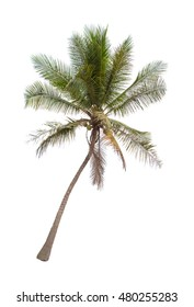 Tilted coconut palm tree isolated on white background.