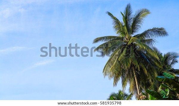 Tilted coconut tree with space on left isolated on a blue sky.