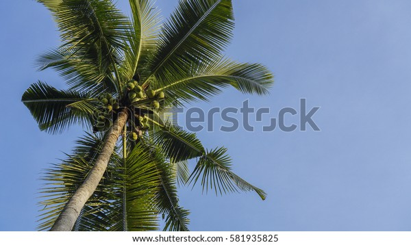 Tilted coconut tree with space on right isolated on a blue sky.