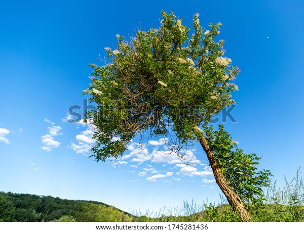 Tilted tree with white flowers. Green leaves. White clouds in the blue sky. Approaching summer. A place to relax in the fresh air. Green hills.