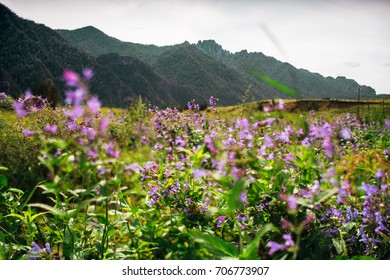 Tilt-shift shooting of beautiful summer scenery with lilac wildflowers in foreground on the meadow with native grasses and Altai mountain ridge in background on sunny day, Russia