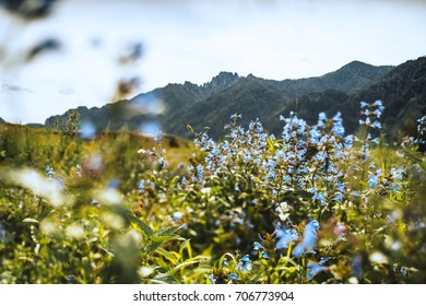 Tilt-shift shooting of scenery with beautiful soft blue wildflowers among greenery in foreground and mountain range in background, sunny summer day, Altai mountains near Kuyus district, Russia