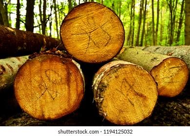 Timber felling. Harvesting Trees