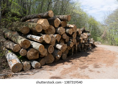 Timber harvesting. A lot of logs lying on roadside in forest