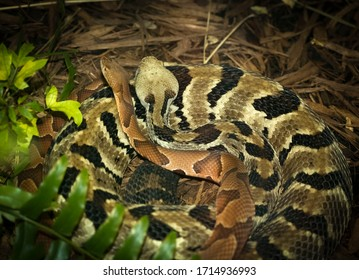 Timber rattler and a copperhead snake