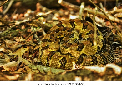 Timber Rattlesnake Images, Stock Photos & Vectors | Shutterstock