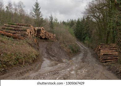 Timber Stack of Recently Felled Douglas Fir Trees (Pseudotsuga menziesii) in Eggesford Forest in Rural Devon, England, UK