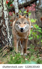 Timber wolf in autumn forest