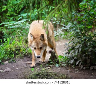Timber wolf (Canis lupus) hunting in the forest