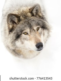 Timber wolf (Canis lupus) isolated on white background portrait closeup in winter snow in Canada