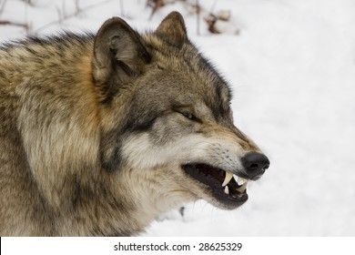 Timber Wolf (Canis lupus lycaon) growling in snow