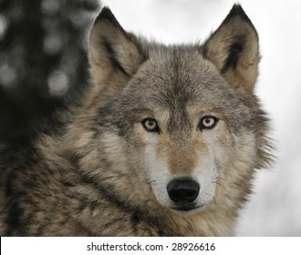 Timber Wolf (Canis lupus) Portrait - captive animal
