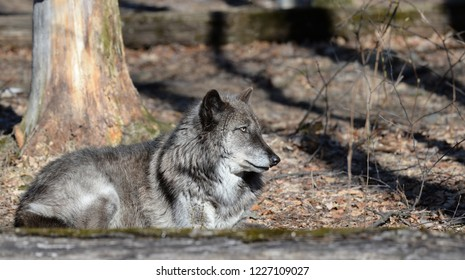 Timber Wolf (Canis Lupus) in the wild.