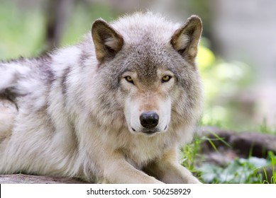 Timber wolf or Grey Wolf (Canis lupus) portrait closeup in autumn in Canada