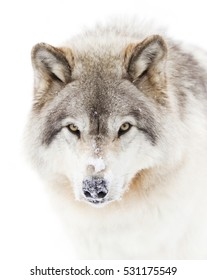 Timber wolf or Grey Wolf Canis lupus isolated on white background portrait closeup with snow on his nose in the winter snow in Canada