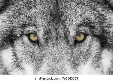 Timber Wolf or Grey Wolf Canis lupus with yellow eyes closeup in winter snow in Canada