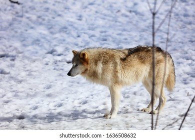 The Timber wolf, also known as the gray wolf, is a large canine native to Eurasia and North America. It is the largest extant member of Canidae, with males averaging 40 kg and females 37 kg.