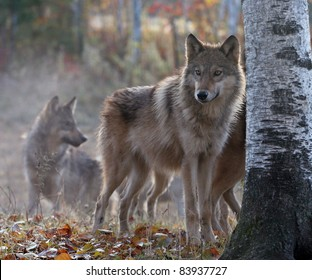 Timber wolf pack on cool, fall morning.  Soft focus, with shallow depth of field. Focus on the foreground. Backlit.