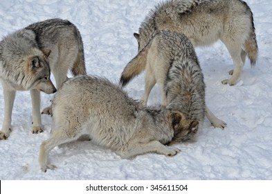 Timber Wolf pack on snow covered  ground