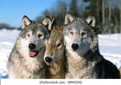 Timber wolf pack portrait