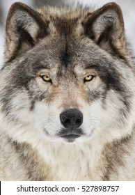 Timber wolf portrait. A close-up photo of a menacing wolf with a yellow eyes