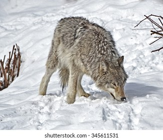 Timber Wolf scrounging for food  in snow covered field.