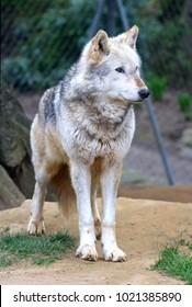 A Timber Wolf, seen in a wildlife park, in England.
