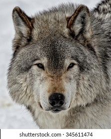 Timber Wolf in snow covered forest