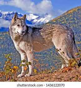 Timber Wolf standing on a ridge, looking back, portrait, Rocky Mountain Range in background.