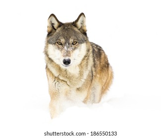 Timber Wolf walking in snow