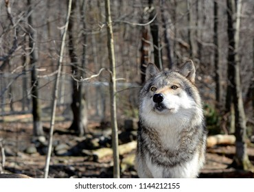 Timber Wolf in the Wild