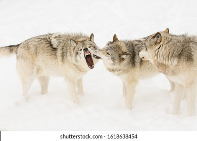 Timber wolves in Canadian winter