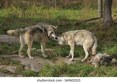 Timber wolves (Canis lupus) standing and playing on a rocky cliff in autumn