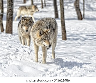 Timber Wolves gathering in snow covered  forest
