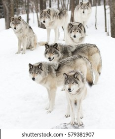 Timber wolves or grey wolves Canis lupus timber wolf pack standing against a white snowy background in Canada