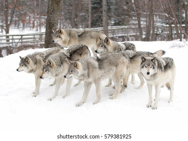 Timber wolves or grey wolves Canis lupus timber wolf pack standing in the snow in Canada waiting to be fed in winter