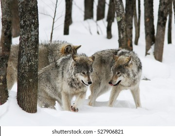 timber wolves pack in winter