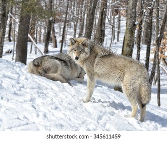Timber Wolves in snow covered  forest