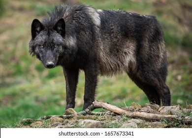 Timberwolf in the forest, France