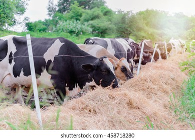 Time feed food for herd cow milk with bright sunlight
