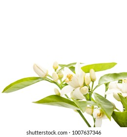 the time of flowering citrus. Spring. white beautiful flowers of mimosa and young green leaves. close-up. isolated on white background